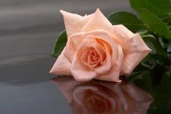 Rosa em um fundo escuro imagens de stock royalty free