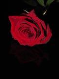 Rosa em um fundo preto Foto de Stock Royalty Free
