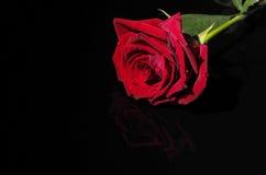 Rosa em um fundo preto Fotografia de Stock