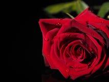 Rosa em um fundo preto Foto de Stock