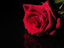 Rosa em um fundo preto Imagens de Stock