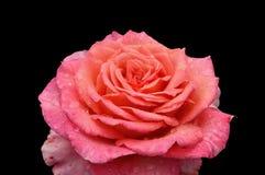 Rosa em um fundo preto Imagem de Stock