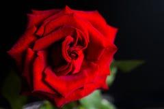 Rosa em um fundo preto Fotos de Stock