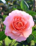 Rosa em um jardim Fotos de Stock Royalty Free