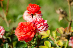 Rosa em um jardim Imagens de Stock