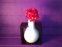 Rosa-em-violeta-vermelho Fotografia de Stock Royalty Free