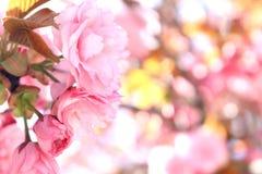 Rosa, empfindliche Blumen, spanischer Frühling, blühende Mandel, das ganzes Holz in den Farben Lizenzfreies Stockbild