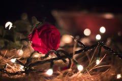 Rosa-en-EL-suelo Stockbild