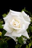 Rosa en jardín, rosa del blanco del blanco en fondo negro Foto de archivo
