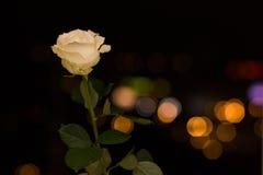 Rosa en las luces del fondo Imagen de archivo