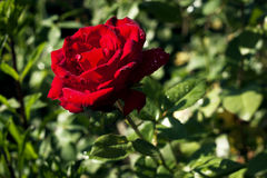 Rosa encantador do vermelho Foto de Stock