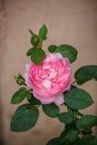 Rosa engelska rosor Arkivbild