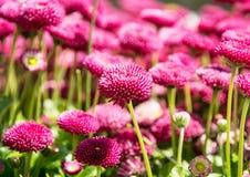 Rosa engelska tusenskönor - Bellisperennis - i vår parkerar, vibrerande Royaltyfri Fotografi