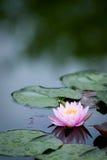 rosa enkelt vatten för lilja Arkivfoto
