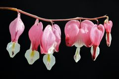 Rosa Enkianthus-Blumen in der Dunkelheit Lizenzfreie Stockfotografie