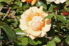Rosa 'entalhe da parte superior' Imagem de Stock Royalty Free