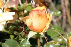 Rosa 'entalhe da parte superior' Foto de Stock Royalty Free