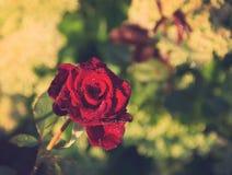 Rosa entonada del rojo en gotas de rocío después de la lluvia Foto de archivo libre de regalías