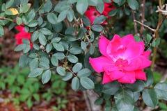 Rosa entre os espinhos foto de stock royalty free