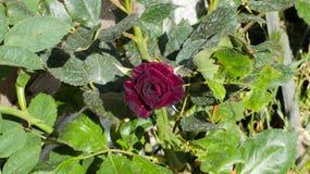 Rosa entre os espinhos Um ingl?s aumentou imagem de stock royalty free