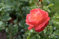 Rosa escura do rosa do close-up com pálido - as listras amarelas nas pétalas, cercadas por aumentaram as folhas imagem de stock royalty free