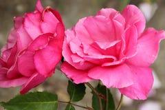 Rosa et x27 ; Electron& x27 ; photo libre de droits