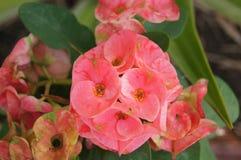 Rosa Euphorbia eller krona av taggar i Thailand Arkivfoto
