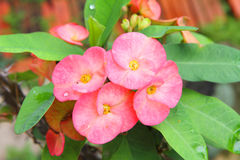 Rosa Euphorbiamilli Desmoul Arkivbilder
