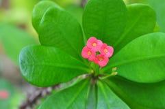 Rosa euphorbias blommar på träd med taggar Fotografering för Bildbyråer