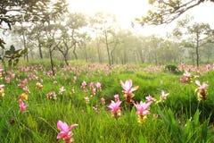 Rosa fält av den Siam tulpan Arkivfoto