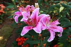 Rosa färg av den Lilly blomman i trädgård med tappningsignal arkivfoto
