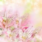 Rosa färg blommar alstroemeria arkivbild