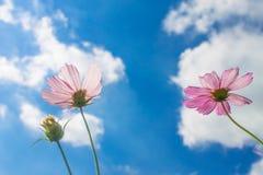 Rosa färg blommar på blåttskyen Fotografering för Bildbyråer
