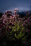 Rosa färg blommar på solnedgången royaltyfria foton