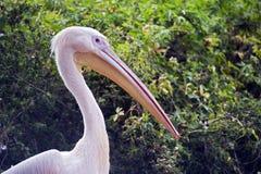 Rosa färg-dragen tillbaka pelikan Royaltyfria Foton