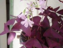 Rosa färg-eblommor Royaltyfria Foton