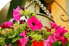 Rosa färg- eller lilablommor Royaltyfri Fotografi
