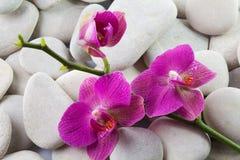 Rosa färg görad strimmig orchidblomma Arkivfoto