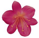 Rosa färg-karmosinröd blomma för lilja som isoleras med den snabba banan, på en vit bakgrund orange pistillar, stamens center ora royaltyfri bild