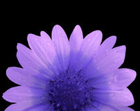 Rosa färg- och blåttblomma efter regnet svart isolerad bakgrund med den snabba banan Closeup med inga skuggor Arkivfoton