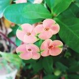 Rosa färg- och gräsplanblomma Fotografering för Bildbyråer