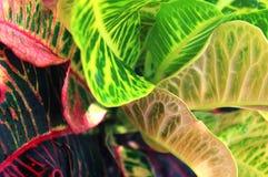 Rosa färg- och gräsplanDieffenbachiasidor eller dumma Cane Leaves Background arkivfoto