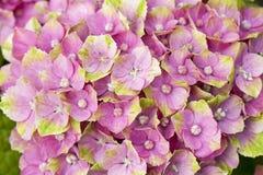 Rosa färg- och gräsplanHortensia Arkivfoton