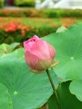 Rosa färg- och gräsplanlotusblomma fotografering för bildbyråer