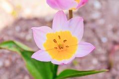 Rosa färg- och gulingblomma Royaltyfri Fotografi