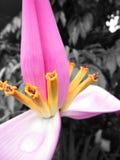 Rosa färg- och gulingblomma Royaltyfri Foto