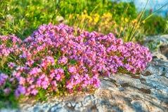 Rosa färg- och gulingblommor Arkivfoton