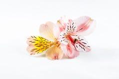 Rosa färg- och gulingblommor Alstroemeria Arkivbild