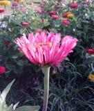 Rosa färg- och gulingblommor arkivbilder