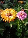 Rosa färg- och gulingblommor royaltyfria bilder